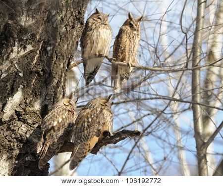Four Perching Long-eared Owls In Spring