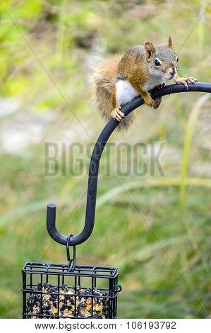 Red Squirrel on Bird Feeder