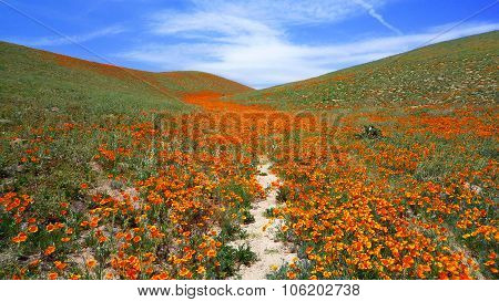 Blooming California Poppies