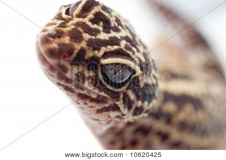 Gecko Looking