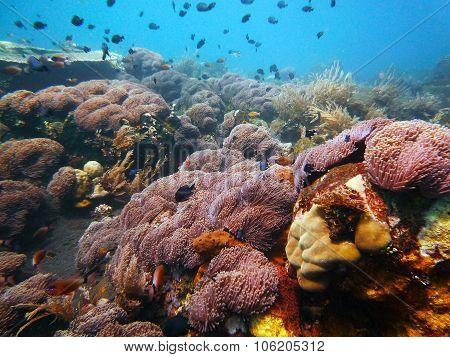 Sea Anenome Field Underwater Bali