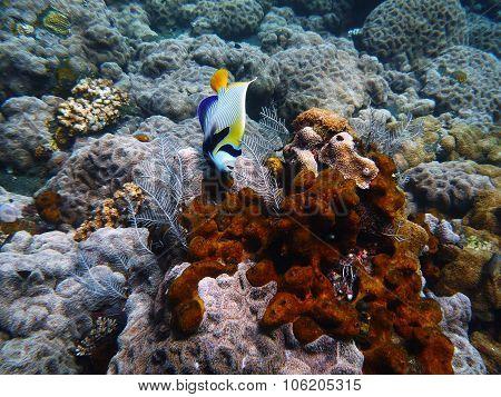 Butterfly Fish Underwater Bali