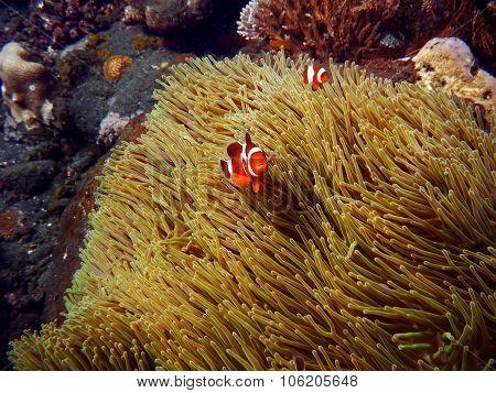 Clownfish Underwater Bali