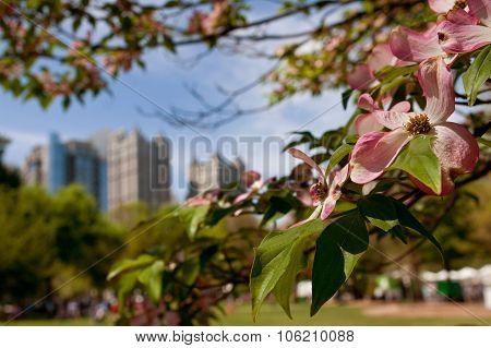 Pink Dogwood Tree Blossoms Frame Springtime Atlanta Cityscape