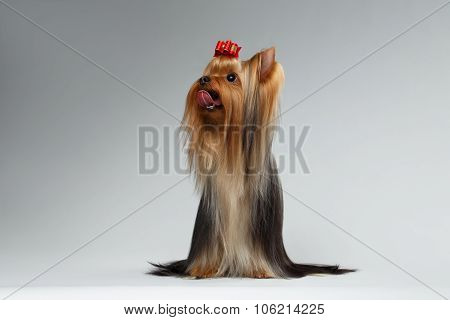 Groomed Yorkshire Terrier Dog Sits On White And Looking Up