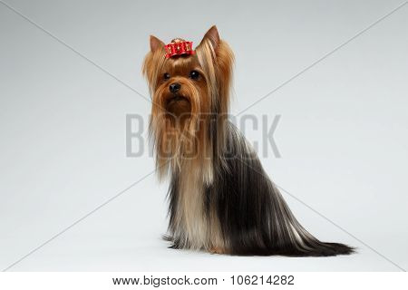 Groomed Yorkshire Terrier Dog Sits On White