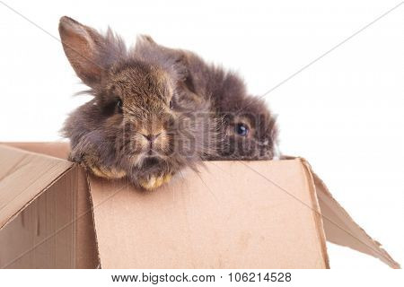 Close up picture of two cute lion head rabbit bunnys sitting in a box.