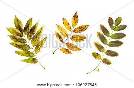 nature, season, autumn and botany concept - set of dry fallen ash and rowan tree leaves