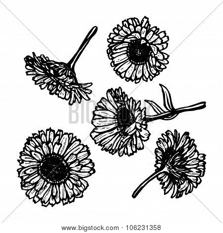 calendula flowers, sketch, black contour on white background. Vector