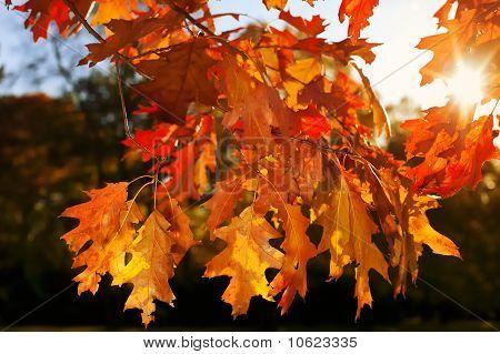 Färbte Blätter einer Eiche im Herbst