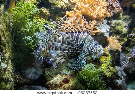 Spotfin Lionfish Or Broadbarred Firefish Or Pterois Antennata