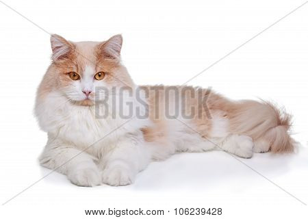 Ginger White Cat isolated over white background.