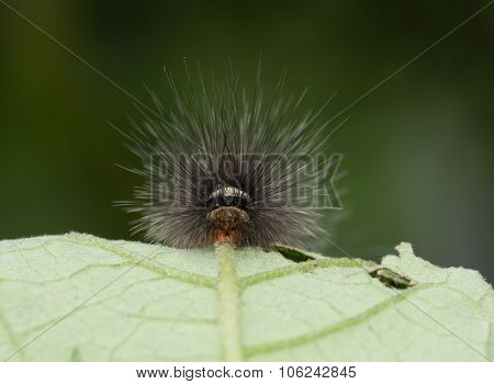 Black And White Hairy Caterpillar With Strange Mouth Parts Asia
