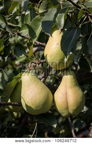 Pear Fruits In Tree