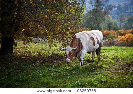 Grazing spotted cow