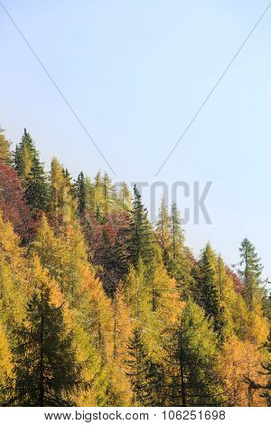 Dense Coniferous Autumn Mountain Forest