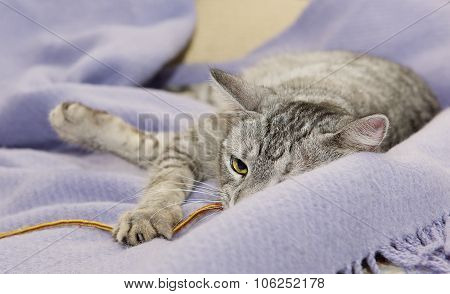 Portrait of elegant grey Cat, cat with green eyes close up in focal focus