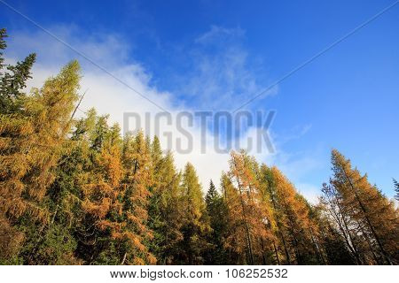 Dense Coniferous Autumn Mountain Forest Background