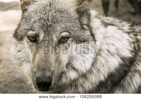 Fragment Muzzle Of A Gray Wolf Looks Forward