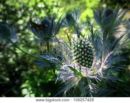 A spiny flower