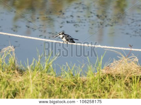 Pied Kingfisher Perched On Rope Over Water