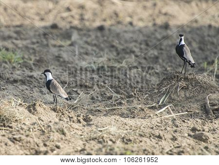 Pair Of Spur Winged Plovers Stood In Field