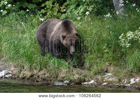 Kamchatka brown bear on the Kamchatka Peninsula
