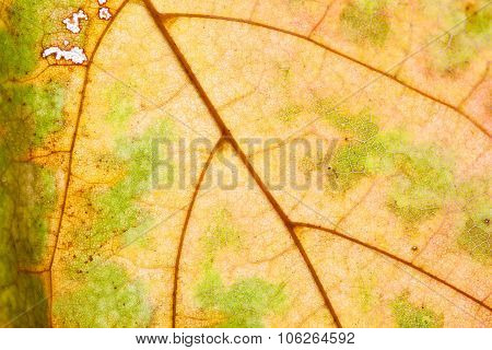 Natural macro view maple leaf