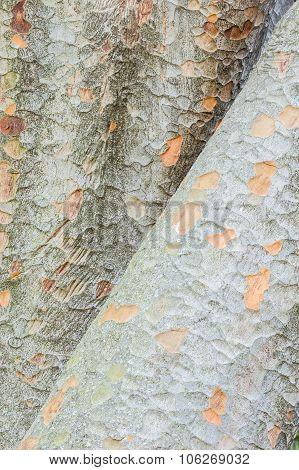 Zelkova Tree Trunks