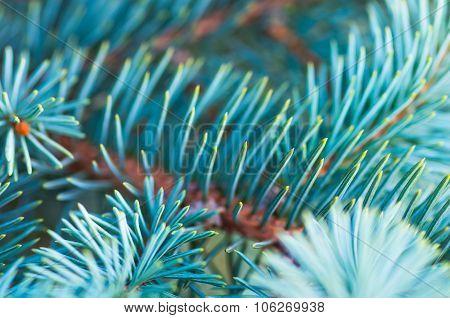 beautiful fir branches