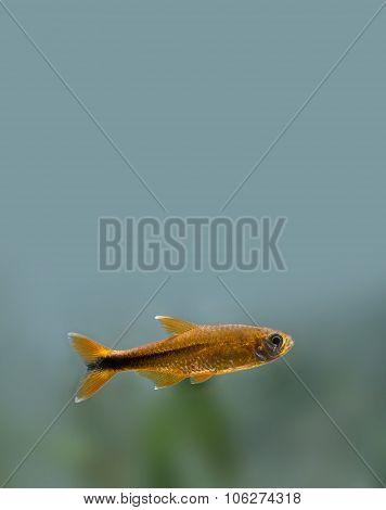 Colorful fish deep in aquarium tank. Goldfish, golden fish.