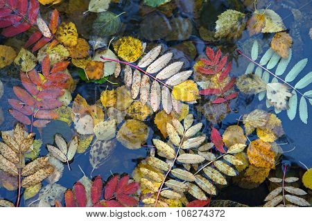 Autumn Leaves On Water.