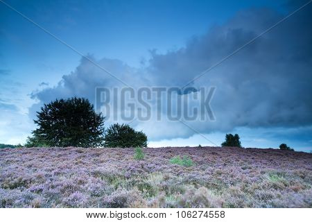 Evening On Hill With Flowering Pink Heather