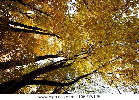 Autumn Forest, Trunks And Yellowed Crown