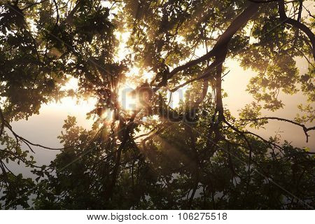Sunbeams Through Oak Tree Branch