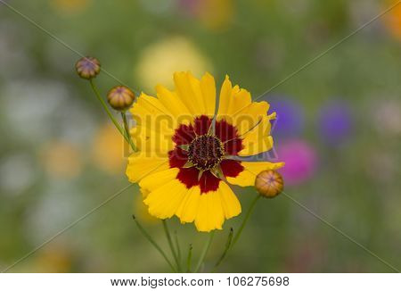 Closeup Of Coreopsis Flower