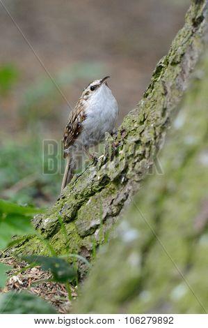 tree-creeper