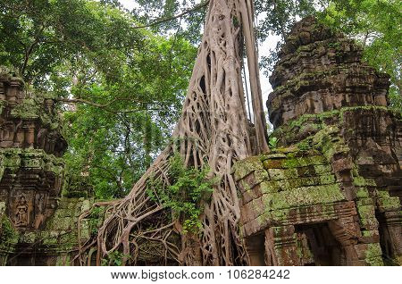 Trees in ruin Ta Prohm, part of Khmer temple complex, Asia.
