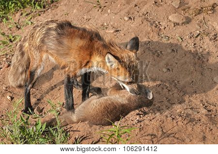 Red Fox Vixen (vulpes Vulpes) Grabs Hold Of Kit