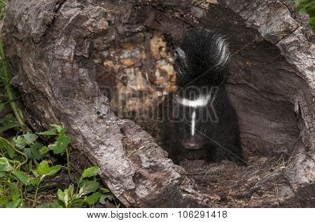 Baby Striped Skunk (mephitis Mephitis) Alert In Log