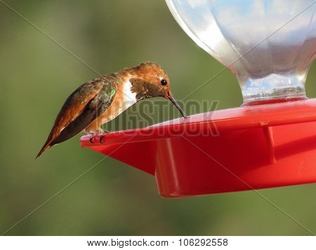 Allen's Hummingbird at feeder
