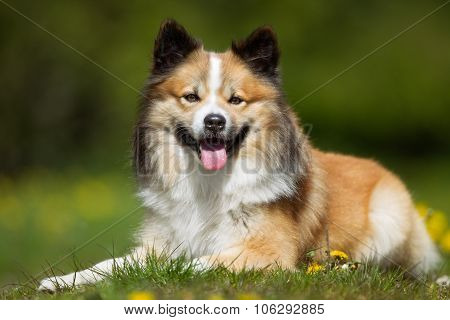 Happy And Smiling Icelandic Sheepdog