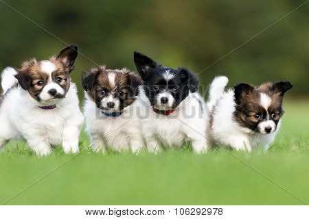 Four Young Papillon Dog Puppies