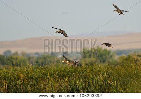 Mallard Ducks Landing In The Marsh