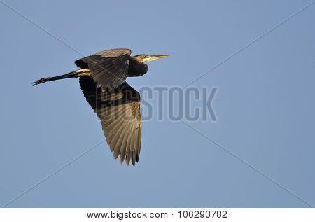 Great Blue Heron Flying In A Blue Sky