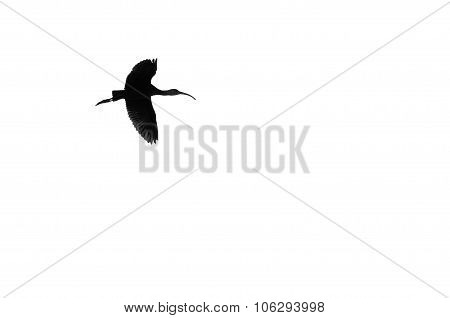 Single White-faced Ibis Silhouetted On A White Background