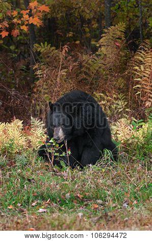 Adult Female Black Bear (ursus Americanus) Chews On Shrub