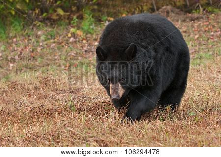 Adult Female Black Bear (ursus Americanus) Stalks Forward