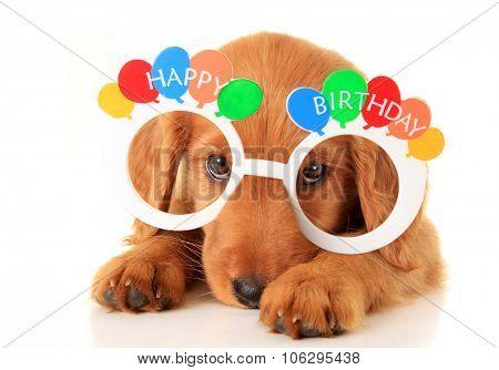 A Irish setter puppy wearing Happy Birthday eye glasses.