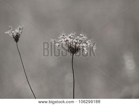 Autumn dried wild flowers in monochrome